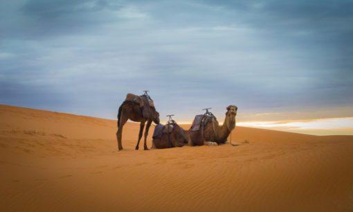 three brown camel in desert during daytime