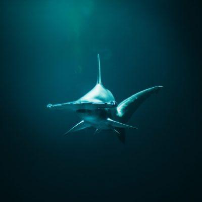 closeup photo of hammerhead shark