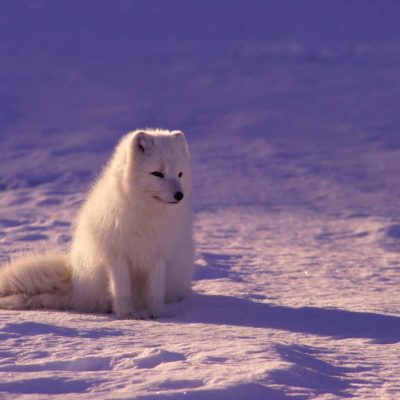 white fox sitting on snow during daytime